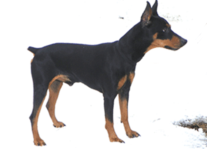 Tri-Pinscher's Got The 'Edge'