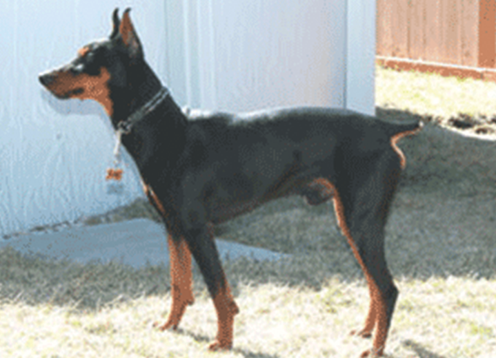 Tri-Pinscher's Storm Power
