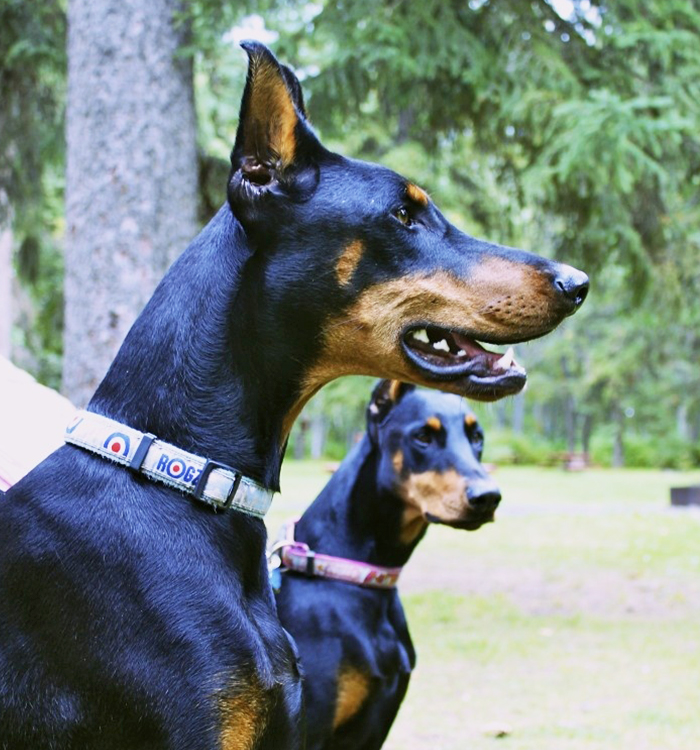 Doberman Pinscher - Black & Tan