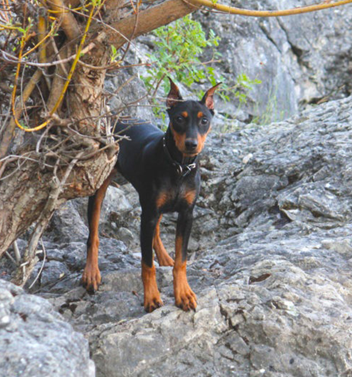 German Pinscher - Black & Tan